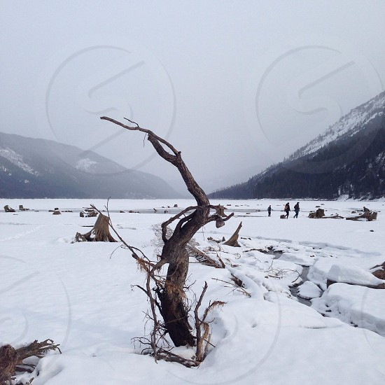 dead tree and snow field  photo