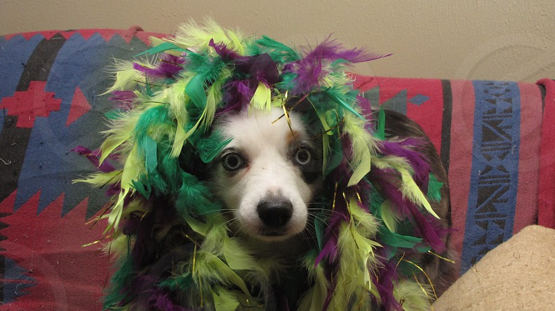 Puppy is ready to party!  dog feathers celebration  photo