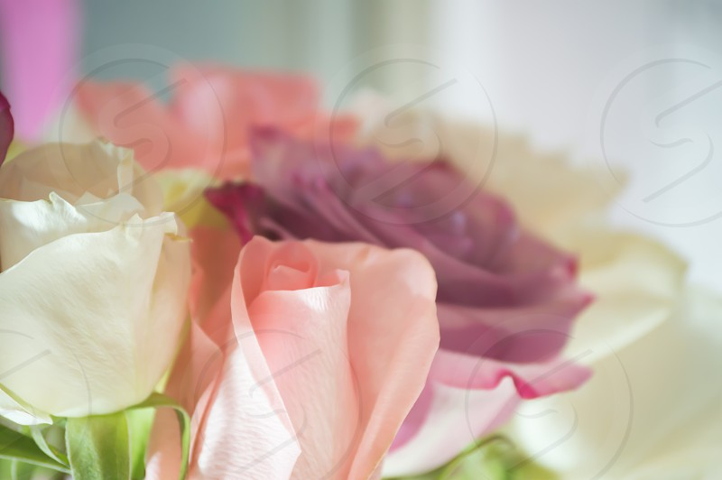 closeup photo of pink rose bud next to white rose flower photo