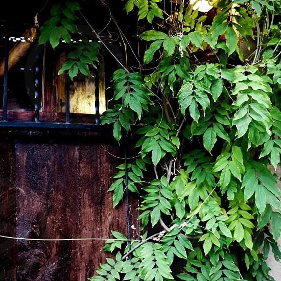 Vine growing on a door photo