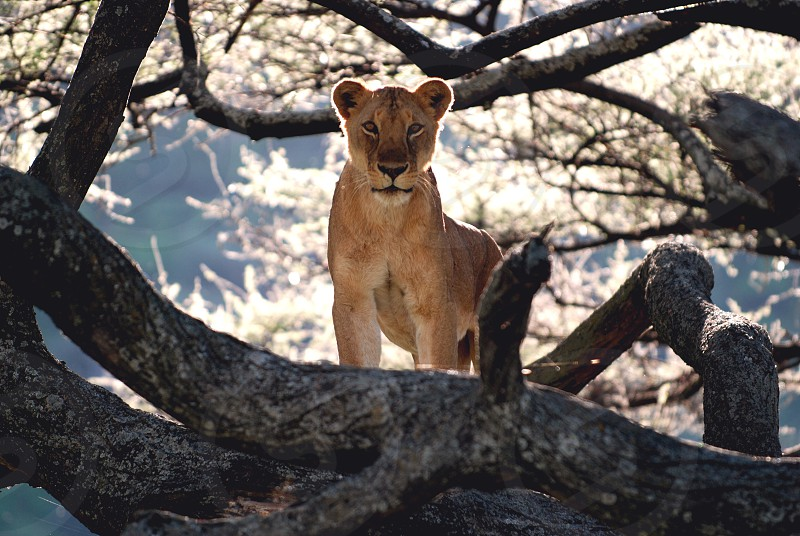 Lioness keeps a lookout from a tree near Lake Manyara in Tanzania photo