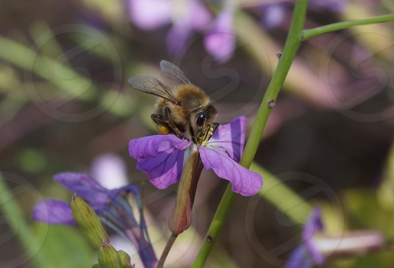 Bee on purple flower photo