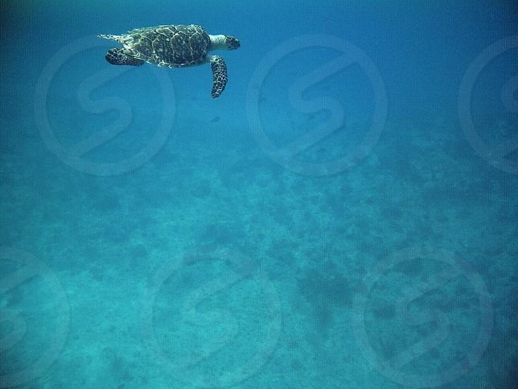 black turtle under water  photo