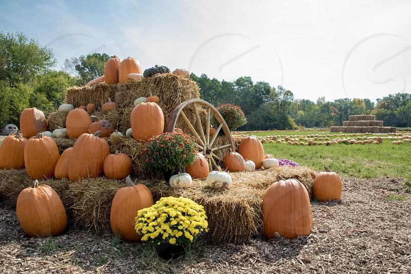 Pumpkins harvest farm fall photo