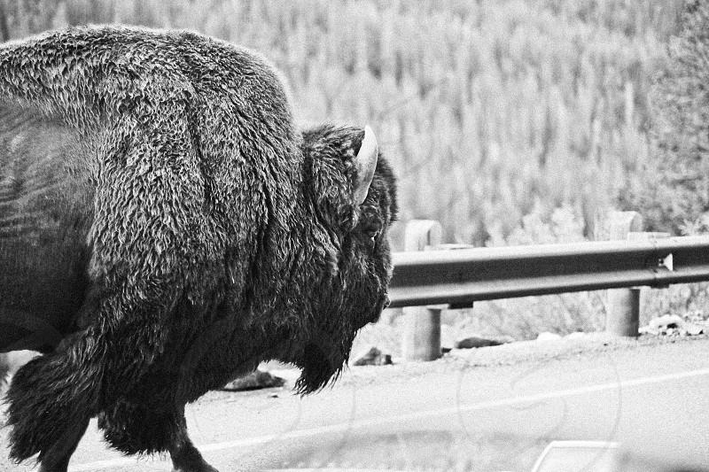 Buffalo Bison Yellowstone National Park Wyoming photo