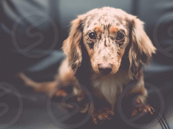 brown merle long hair dachshund puppy photo