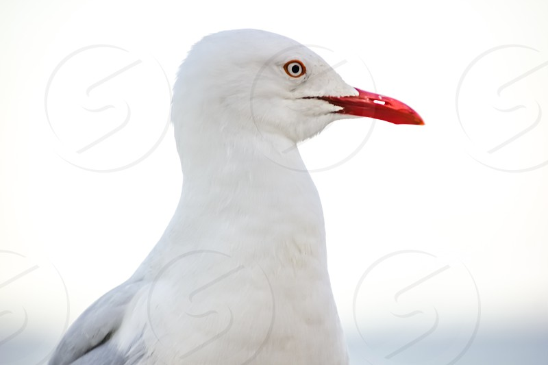 Close up portrait of a seagull photo