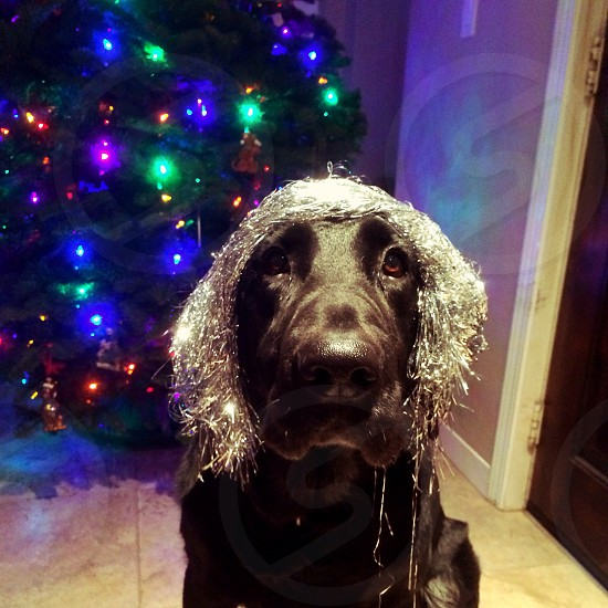 black lab dog with silver tinsel hair wig photo