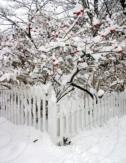Snow-covered tree with red berries behind a white picket fence at Christmas. photo