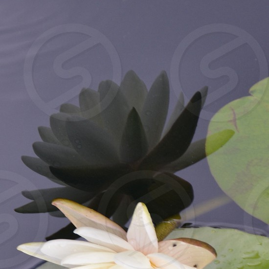 white water lily flower photo