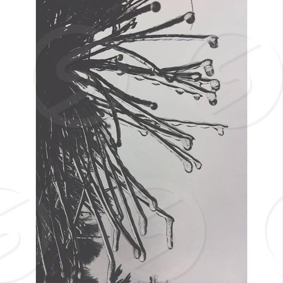 ice winter pine black&white photo