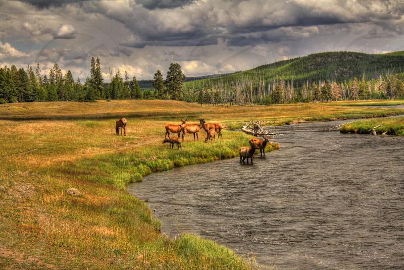 Elk at Yellowstone National Park photo