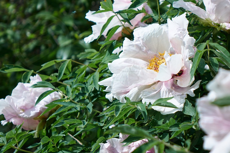 Beautiful blooming white peony flowers in spring in the garden. Natur background photo