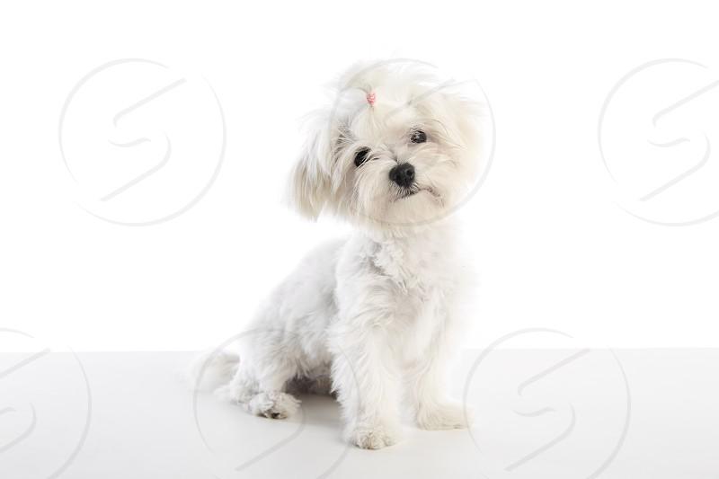 Maltichon puppy also Bichon Maltese doggy on white background photo