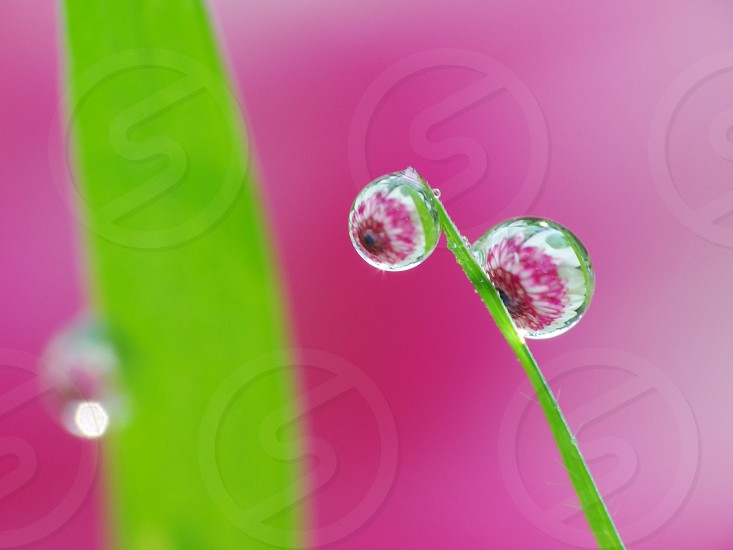 Aug 01st 2018: Reflection of flower in side dew drops remain on grass at Giadinh park in Saigon city Vietnam.                     photo