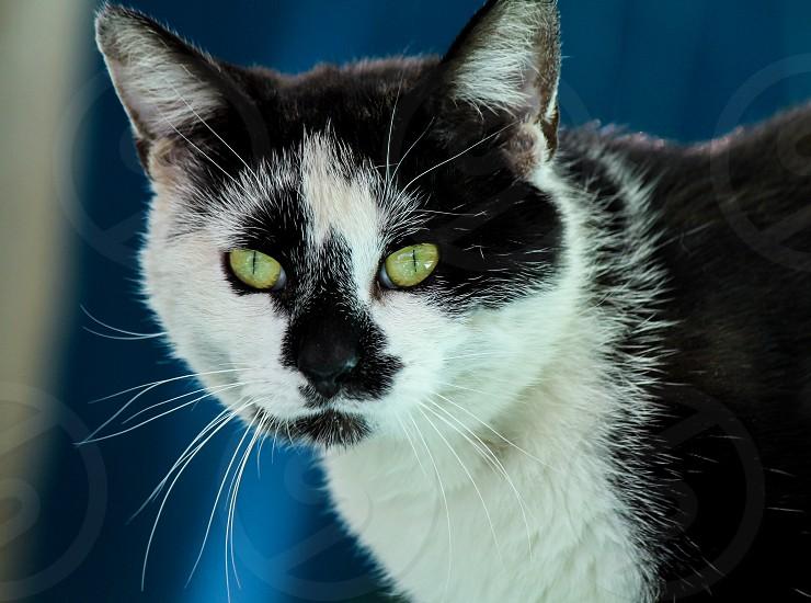 Black and white cat photo