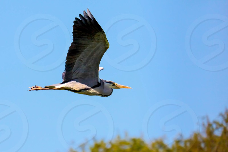 Grey Heron in Flight photo