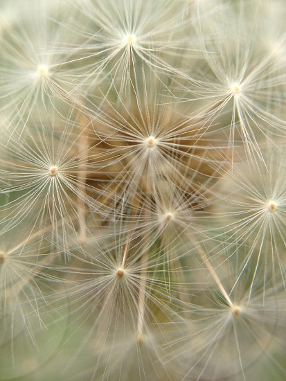 dandelion seed pod photo
