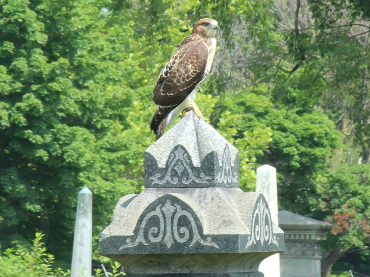 Hawk grave solitary bird raptor alone predator hunter peace photo