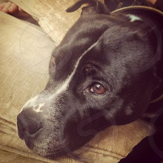 Dog doggy staffy Staffordshire bull terrier eyes fur photo