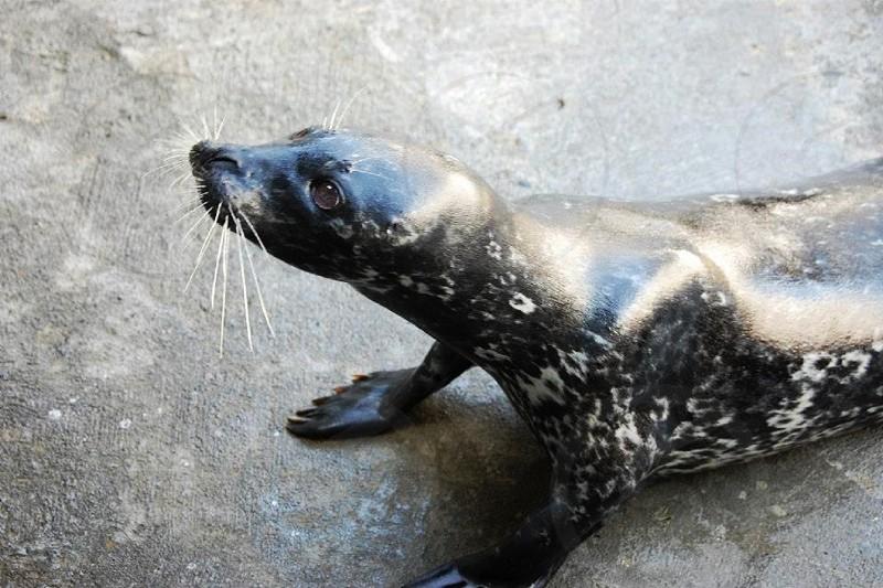 Trained seal at an aquarium photo