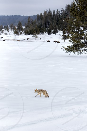 A coyote crossing a field near bison in Yellowstone National Park.  As seen on a tour from West Yellowstone Montana. photo