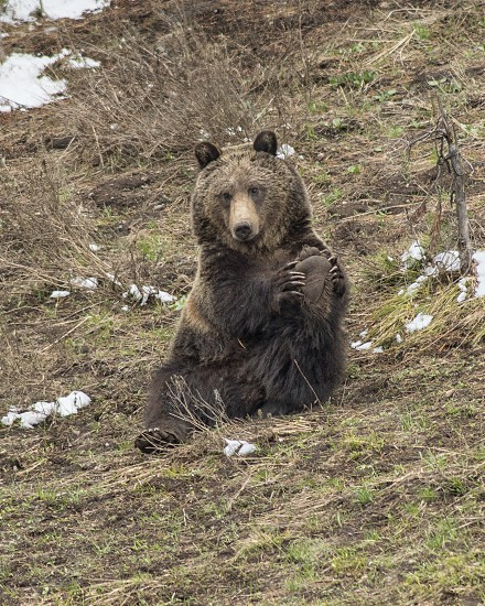 A grizzly bear stretches out his legs after a long day of foraging for food photo