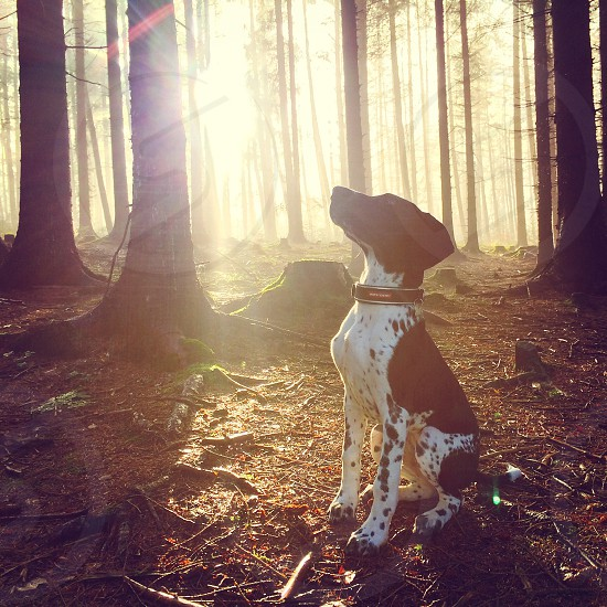 German shorthaired pointer puppy sun rays woodland  photo