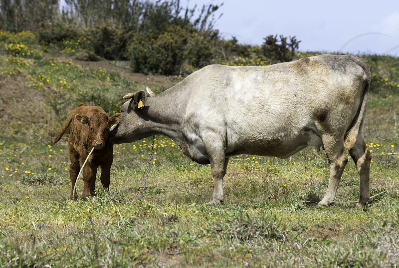 mother cow and young calf on madeira island photo