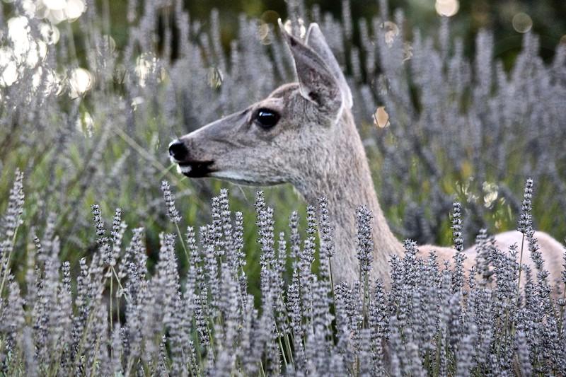 brown deer beside white flowers photo