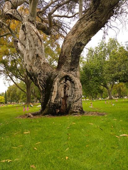brown tall tree photo