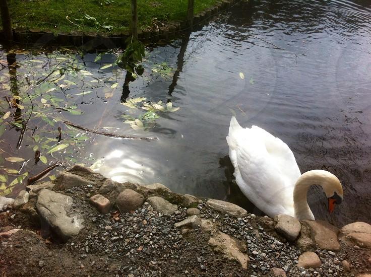 White Swan on Black Water Scotland photo