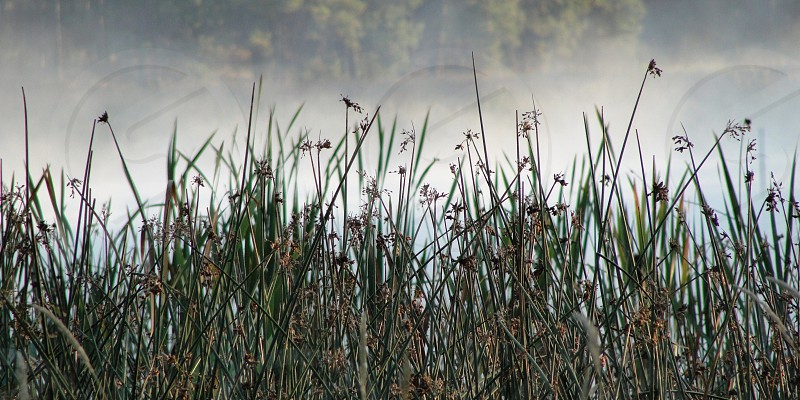 Tall grass in fog scenery  photo