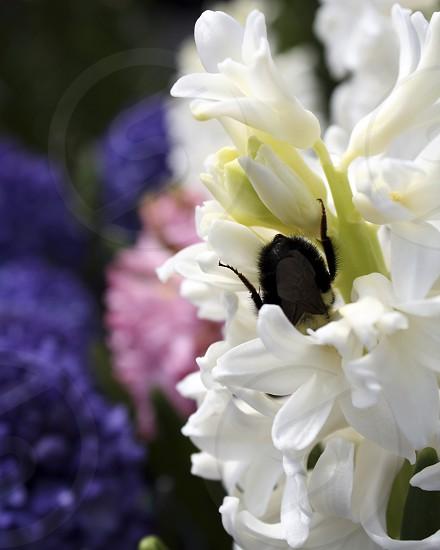 Upside down Bee on Hyacinth photo