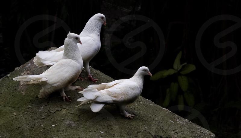 flock of white dove bird perch on concrete floor photo