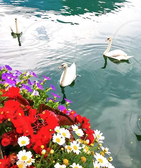 flower hallstat beautiful nature Austria europe village cute swan lake moutain bird photo