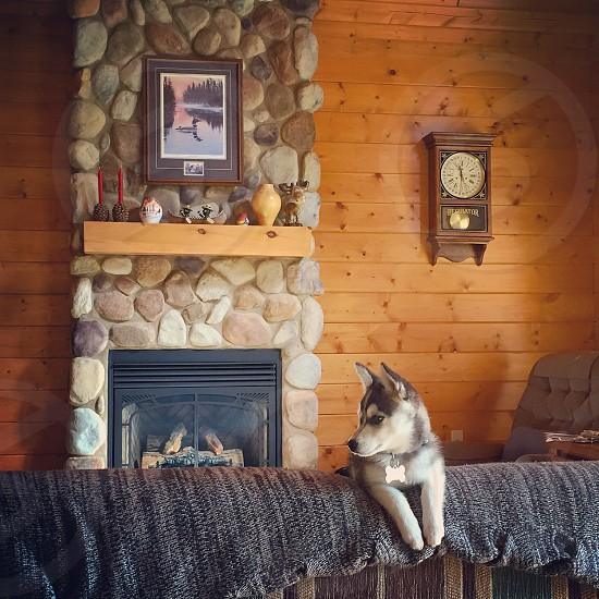 Puppy in a log home photo