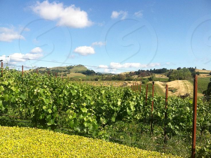 San Francisco California Wine Country Vineyard Napa Valley photo