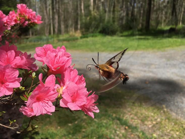 Hummingbird moth photo