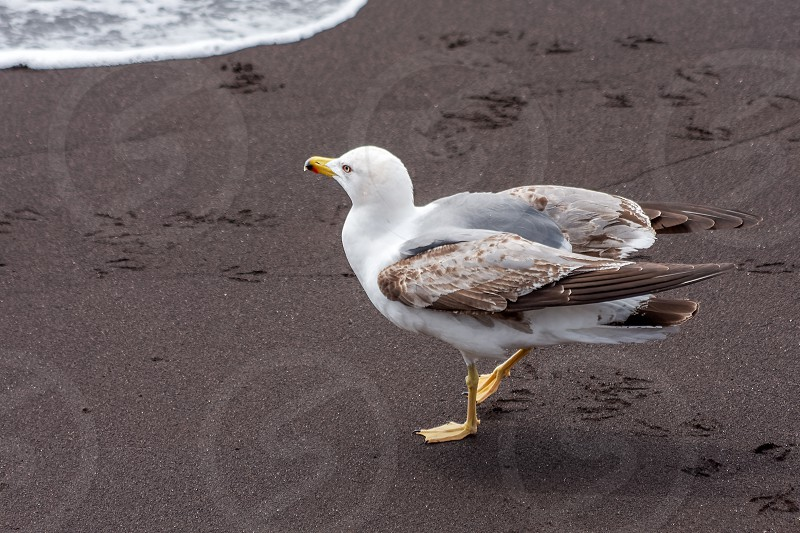 Common Gull (larus canus) juvenile on a beach in Funchal Madeira Portugal photo