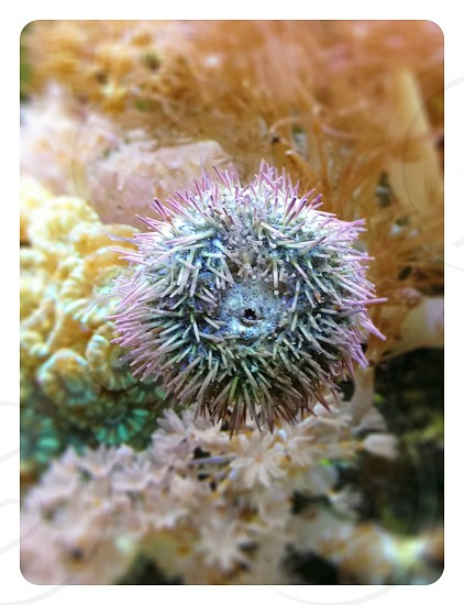 A sea urchin crawling up the glass in a salt water aquarium photo