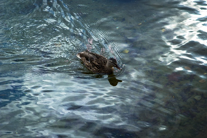 A duck gliding across the water photo