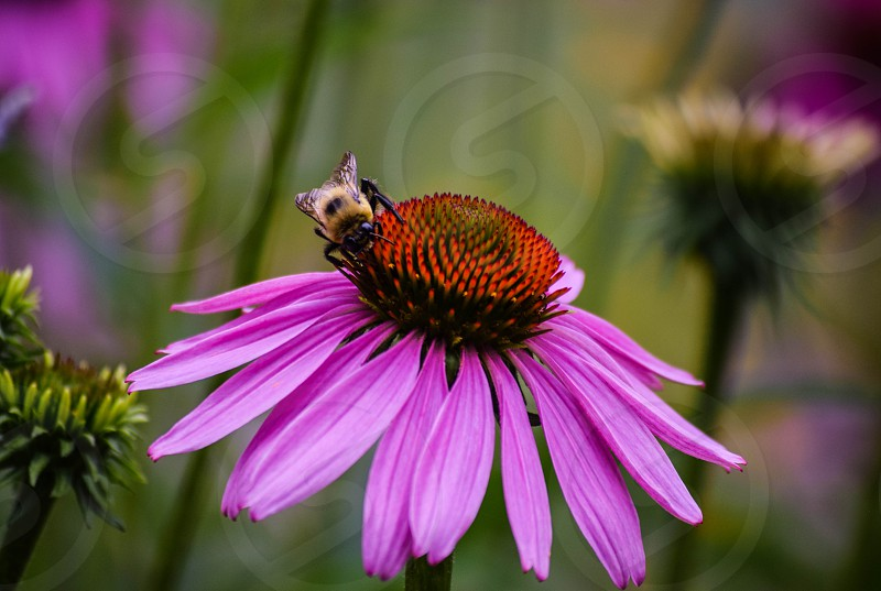 Flowere pink bee photo