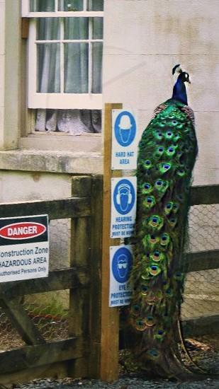 Wild peacock on construction site — Kawau Island New Zealand. photo