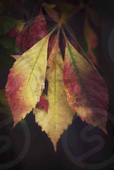 Close up of leaves changing color in fall. photo