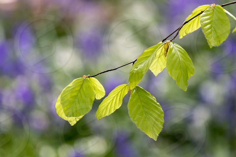 Fresh leaves on the tree in a forest carpeted with bluebells which can be seen blurred in the background. photo