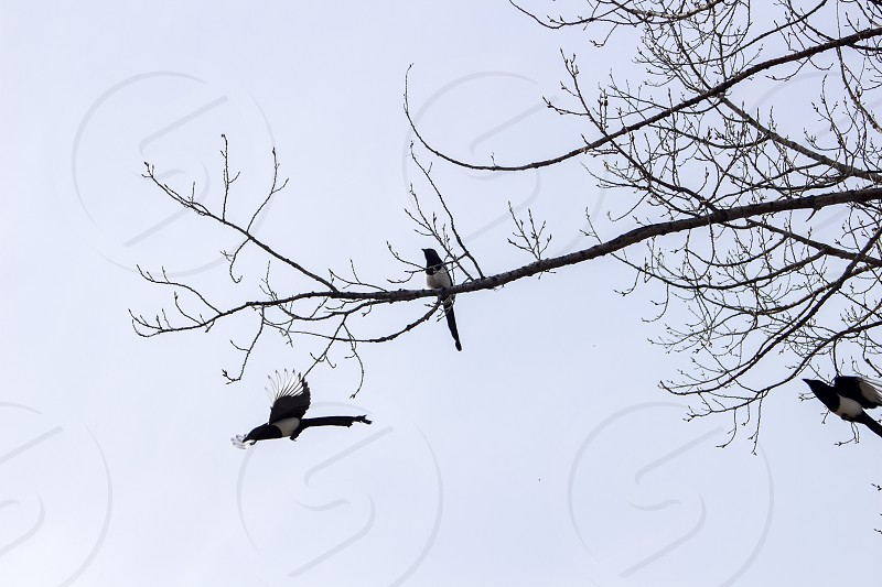 magpie magpies birds branches tree wildlife trio flying photo