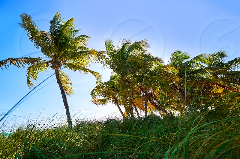 Key west florida Smathers beach palm trees in USA photo