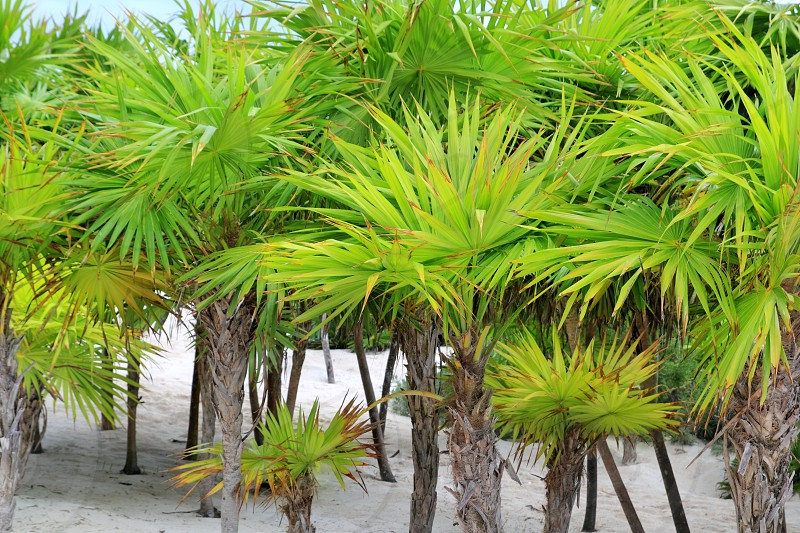 Chit palm trees in Caribbean beach sand Mexico Tulum photo