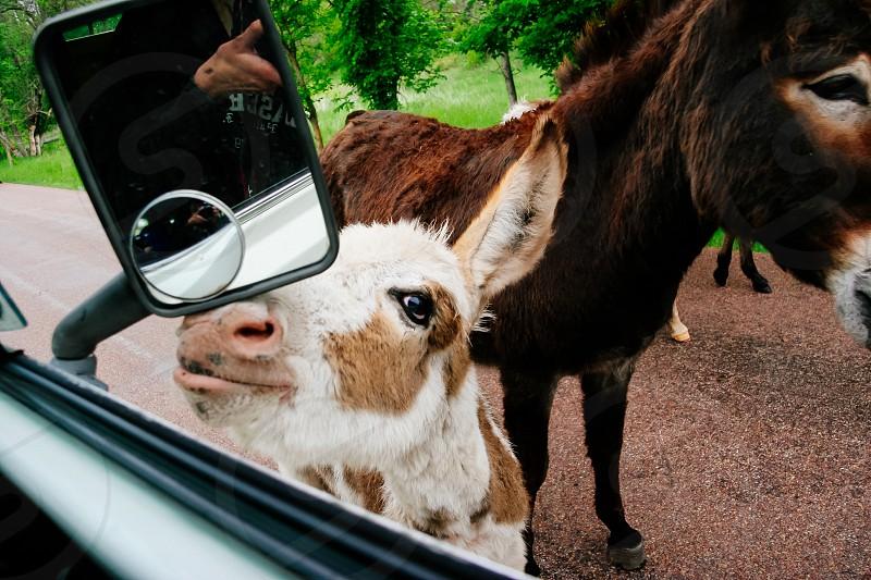 wild donkey touch sight south Dakota  photo